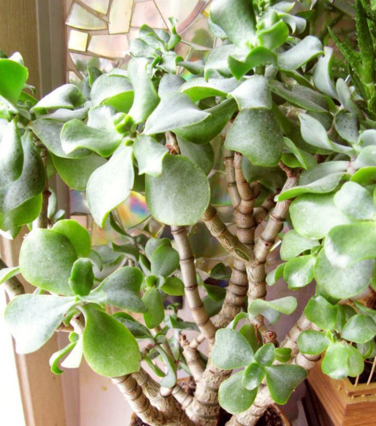 C. arborescens curviflora